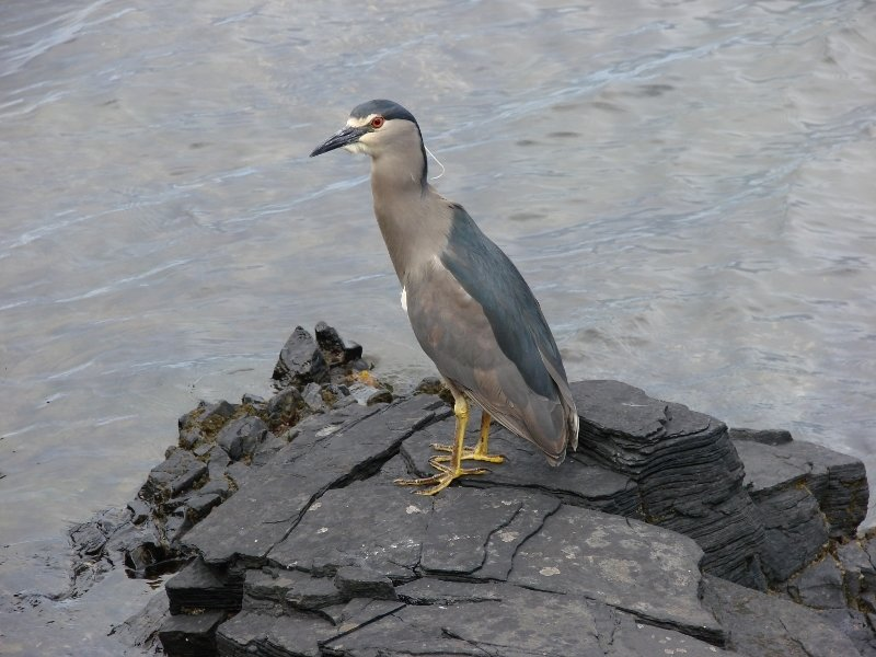 Black-crowned Night Heron or Quark