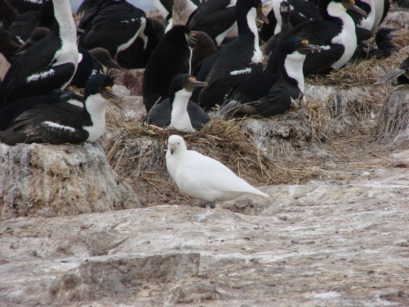Pale-faced Sheathbill or Kelp Pigeon