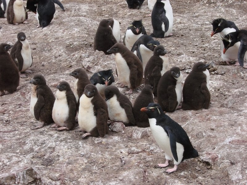 Rockhopper Penguins with their Young