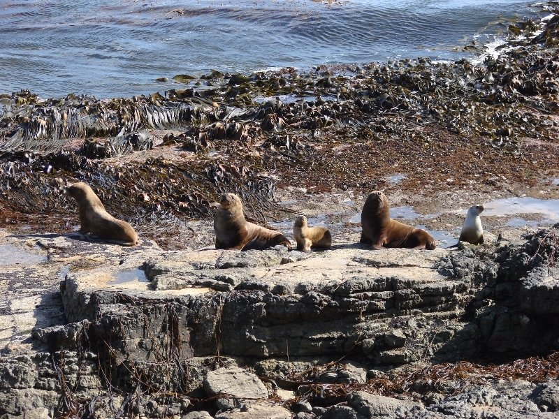 Southern Sea Lion - Family Group