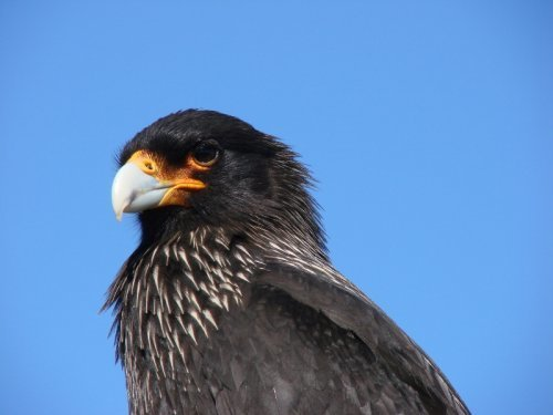 Striated Caracara or Johnny Rook