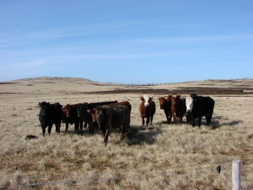Cattle on the Murrell