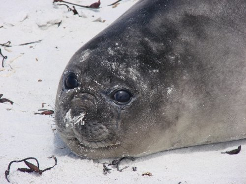 Elephant Seal Pup
