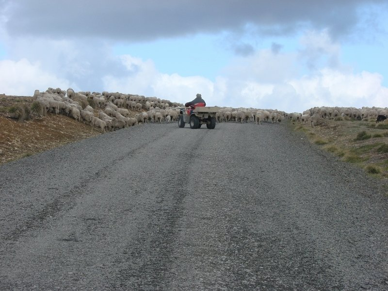 Herding Sheep by Quadbike