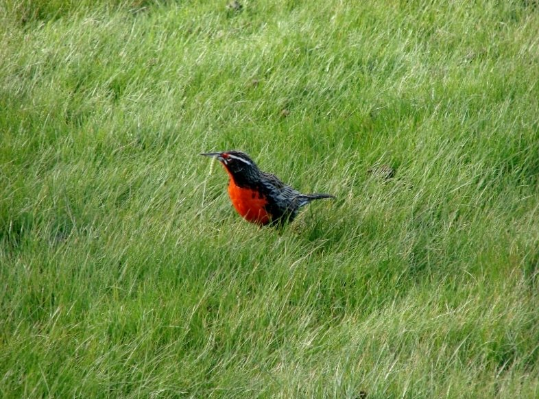 Long Tailed Meadowlark or Military Starling