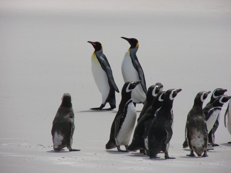 Magellanic and King Penguins