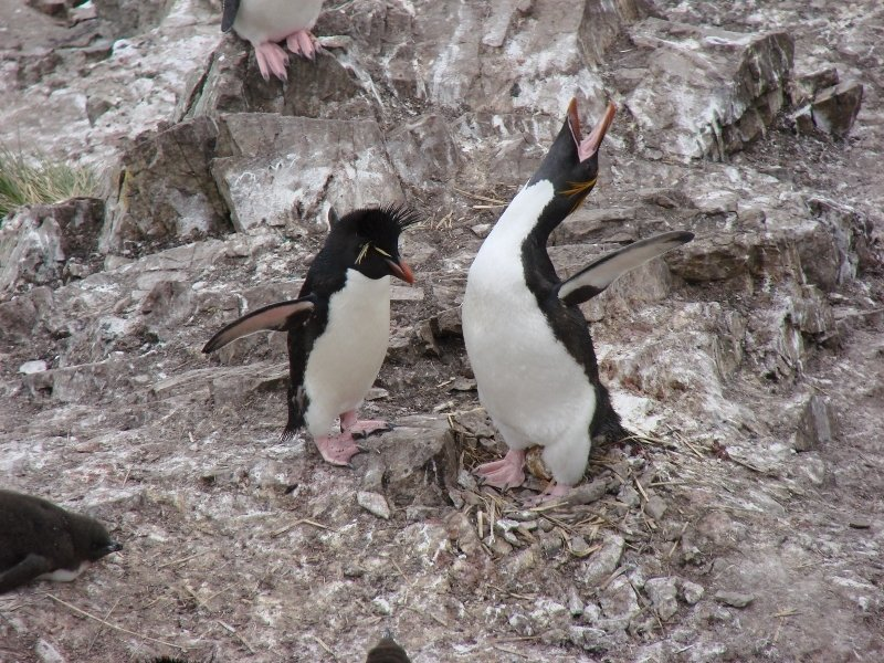 Rockhopper and Macaroni Penguins
