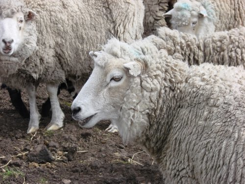 Sheep at Fitzroy