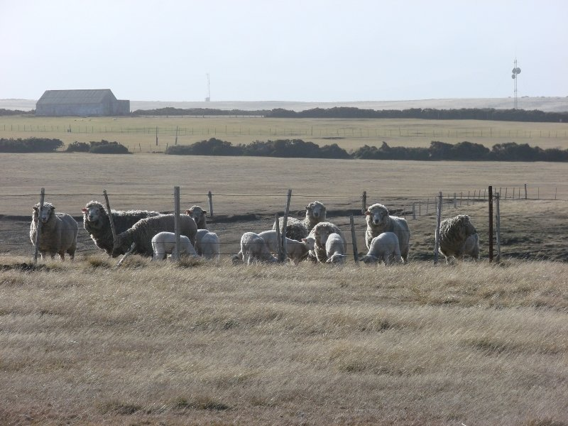Sheep at Goose Green