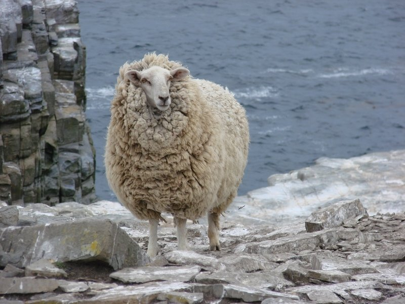 Sheep on Sea Lion Island