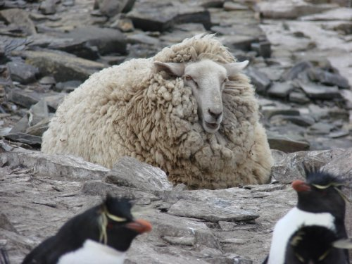 Sheep Guarding Rockhopper Penguins on Sea Lion Island