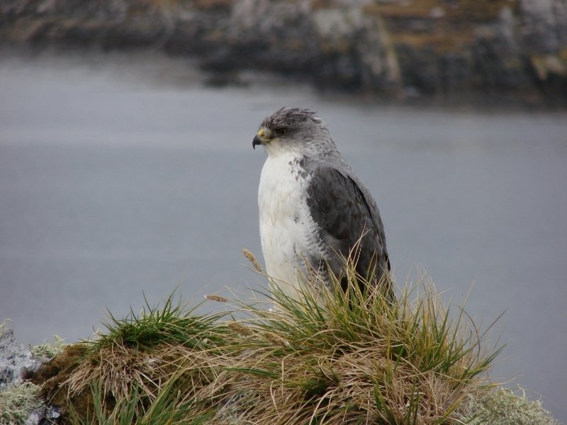 Variable Hawk or Red-backed Hawk
